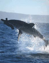 Great White Shark Breaching in False Bay South Africa